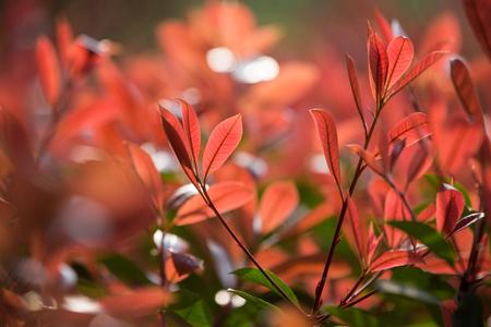 Photinia leaves