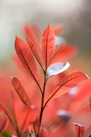 Photinia leaves