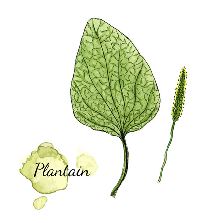 plantain: Watercolor illustration with plantain. Vector Illustration