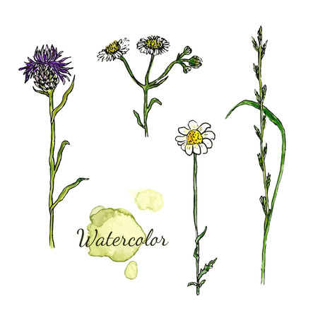 wild flowers: Watercolor botanical set with wild flowers. Camomile, thistle medecine herbal. Vector illustration