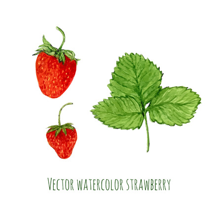 Vector illustration with watercolor strawberry. Hand drawn berry for farmers market,  herbal tea, eco product design, soap package, etc. Organic food