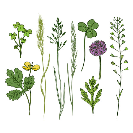 oxalis: Wild flowers hand drawn set. Ink herbs in color. Herbal medicine vector illustration.