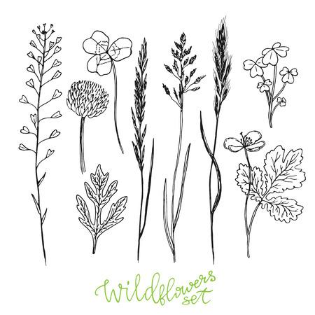 oxalis: Wild flowers hand drawn set. Ink herbs. Herbal medicine vector illustration