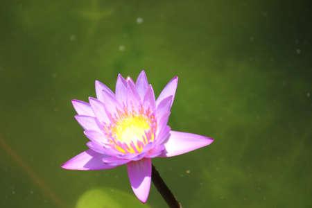 mediodía: Lotus al mediod�a