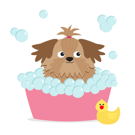 longhaired: Little glamour tan Shih Tzu dog taking a bubble bath. Yellow duck bird toy. Cute cartoon baby character. Flat design. White background. Vector illustration Illustration