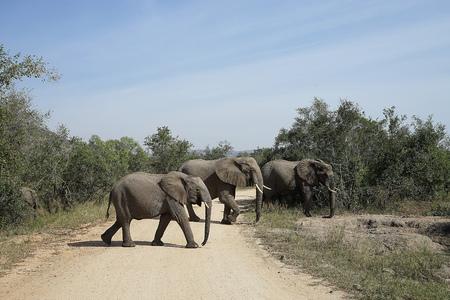 plains indian: African Elephant Kruger National Park Stock Photo