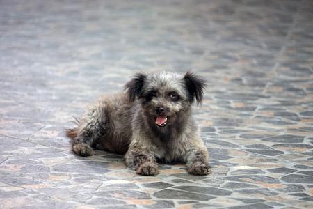Dog in Thailand ugly cute grey black Asia .