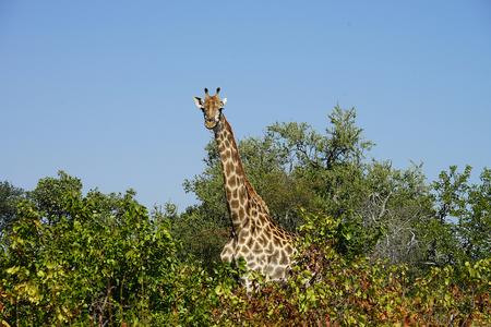 African Giraffe Kruger National Park in the wilderness Head .