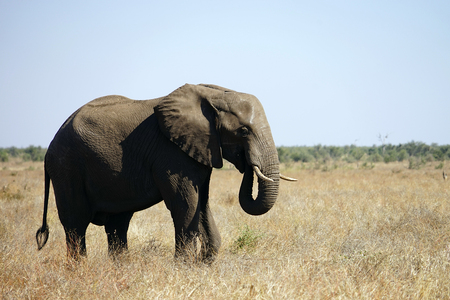 African Elephant Kruger National Park alone in the wilderness . Stock Photo