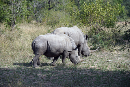 white Rhino in the wilderness of Africa .