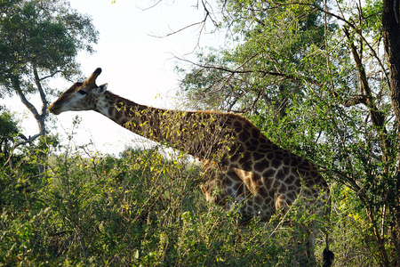 African Giraffe Kruger National Park alone in the wilderness . Stock Photo