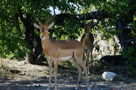Gazelle in the wilderness of Africa alone .