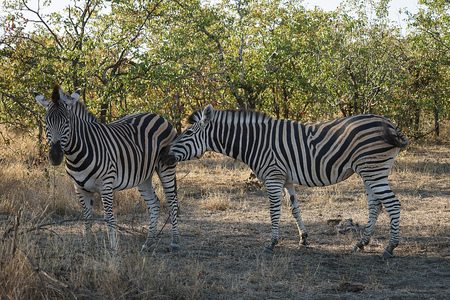 African Burchell Zebra in the wilderness playing .