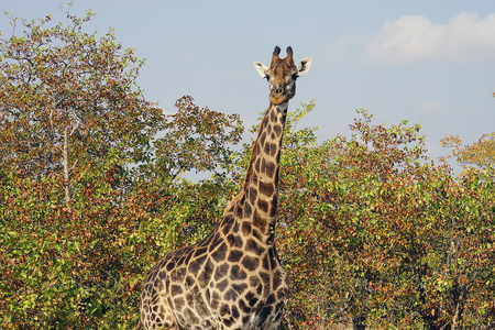 African Giraffe Kruger National Park in the wilderness Head .