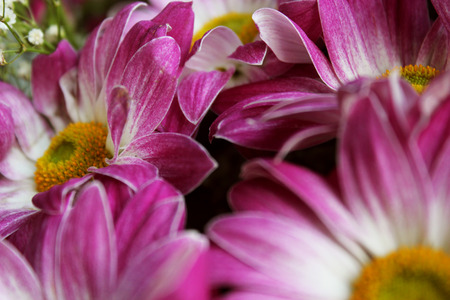 closeup of pink daisy with: Closeup of white and pink gerbera daisy in bouquet