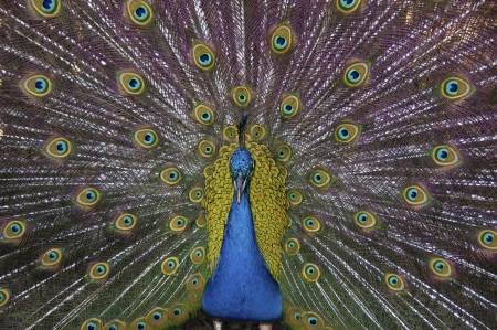 Peacock with feathers on display Banque d'images