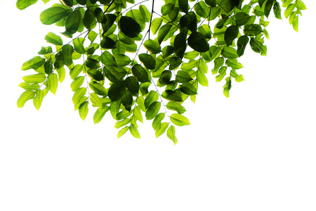 green leafs isolated on white background photo