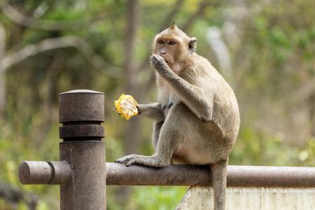 corncob: monkey with corncob