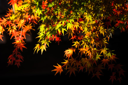 colorful maple trees: Tree branch with autumn leaves. Autumn background. Stock Photo