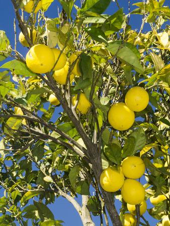 lemon tree 写真素材