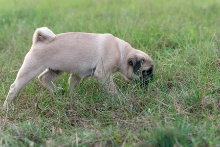 pug puppy: Beige pug puppy sniffing the grass outdoors