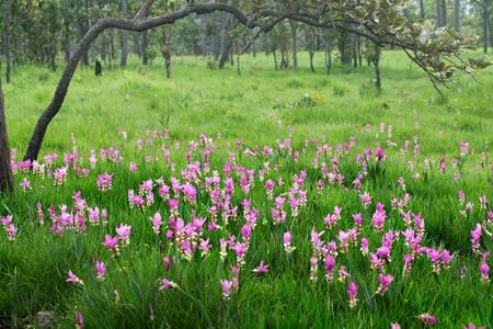 Field of Siam tulip  photo