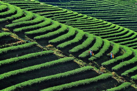 Tea plantation on hill with worker harvest Stock Photo