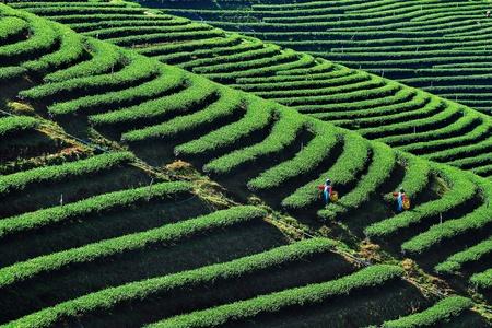 tea garden: Tea plantation on hill with worker harvest Stock Photo