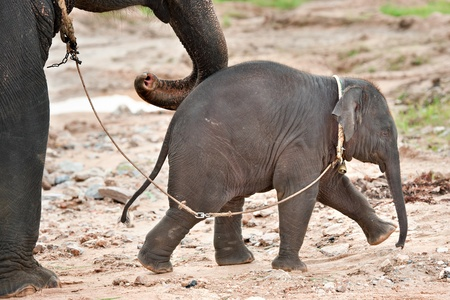 Baby elephant walking with mother photo