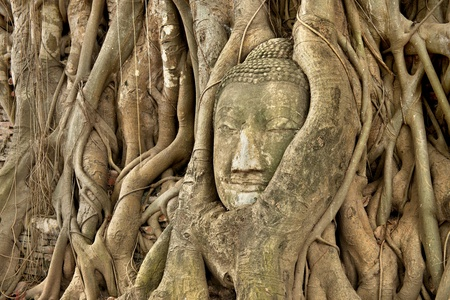 ayutthaya: Head of Sandstone Buddha in roots of Banyan tree  at Ayutthaya , Thailand Stock Photo