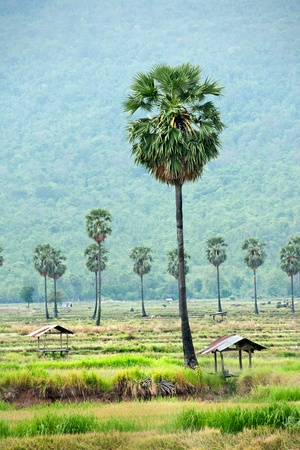 sugar palm: Sugar palm tree in rice field