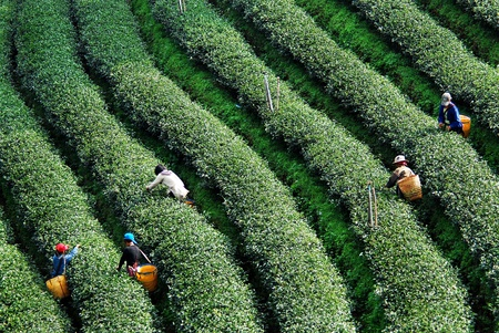 tea estates: worker harvesting tea in plantation