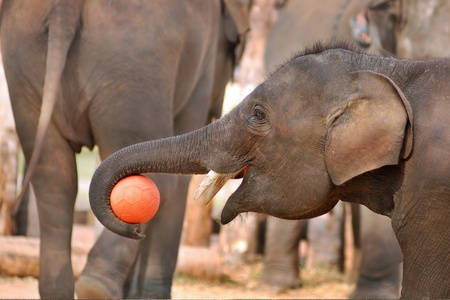 Young asia elephant playing ball in thailand