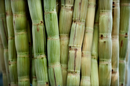 sugar cane peeled  photo
