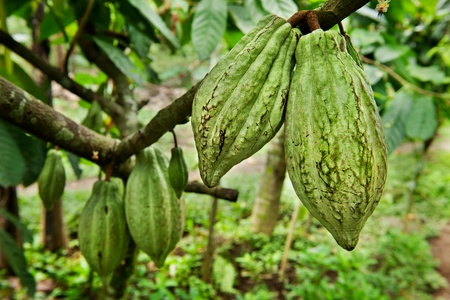 Cocoa tree with fruit, Bali  Indonesia Stock Photo