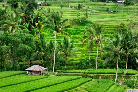 Rice terrace in Bali. Indonesia photo