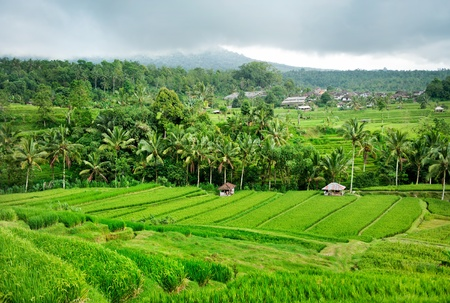 rice plant: Rice terrace in Bali. Indonesia