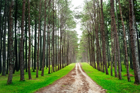 country rural road in pine forest  photo