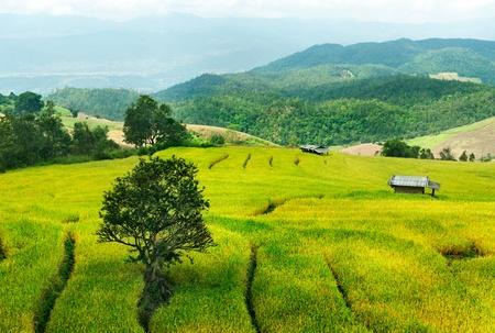 paddy fields: Rice terrace in Bali. Indonesia