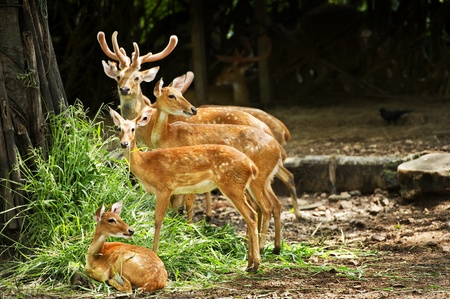 deer family in outdoor zoo photo