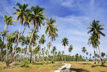 local road to coconut garden  photo