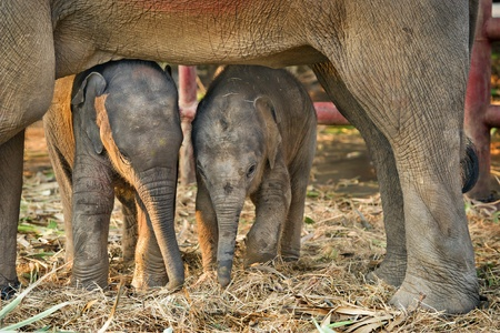 elephant nose: Asian baby elephant standing between the big legs of her mother