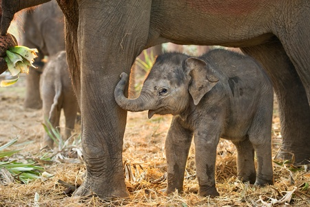 Asian baby elephant standing between the big legs of her mother photo