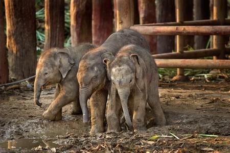elephant nose: Three Asian baby elephant