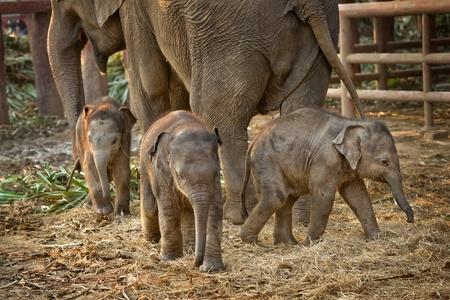 elephant head: Asian baby elephant standing between the big legs of her mother
