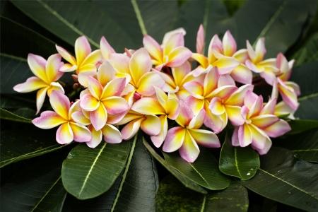 light pink plumeria  flower  photo
