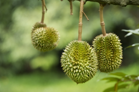 Durian on tree photo