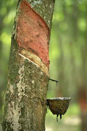 Harvest milk of rubber tree Stock Photo - 16877490