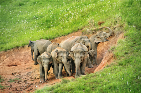 salt marsh: Group of elephant eat Salt marsh  in national park