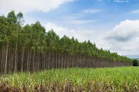 industry park: Plantation of Eucalyptus for paper industry in thailand
